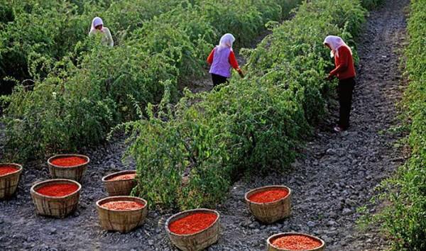 bacche-di-goji-coltivazione_O4