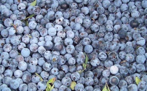 Prunus spinosa trigno