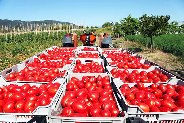 Campagne con cassette di pomodori