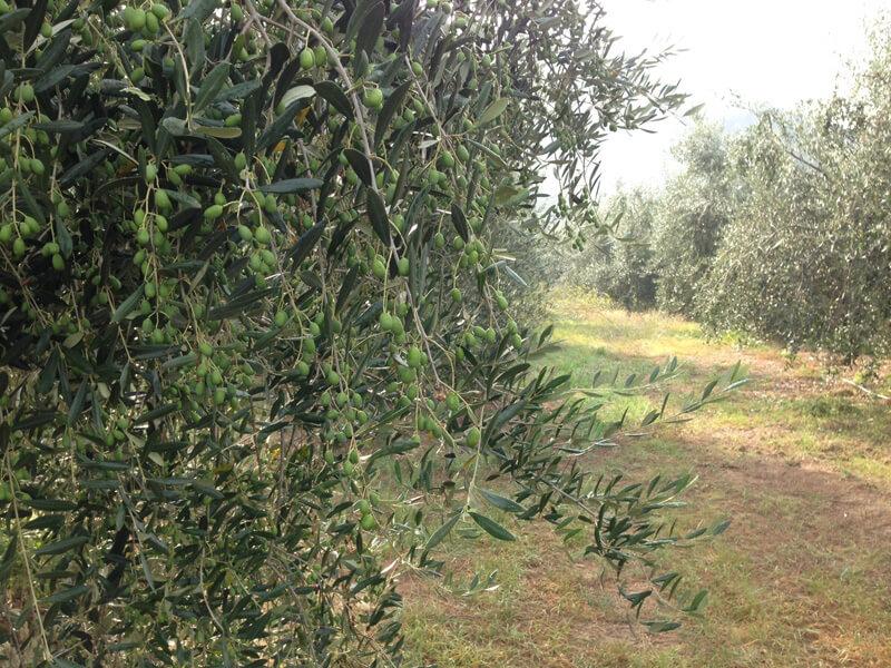 paolo cassini oliva taggiasca
