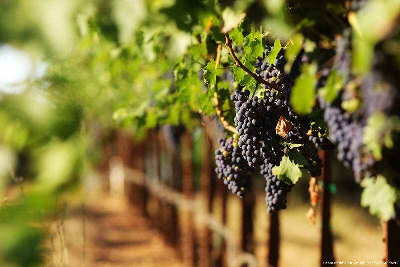 Red wine grapes in vineyard with selective focus